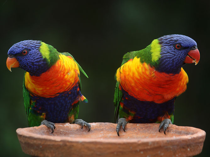 Twin Rainbow Lorikeet Parrots