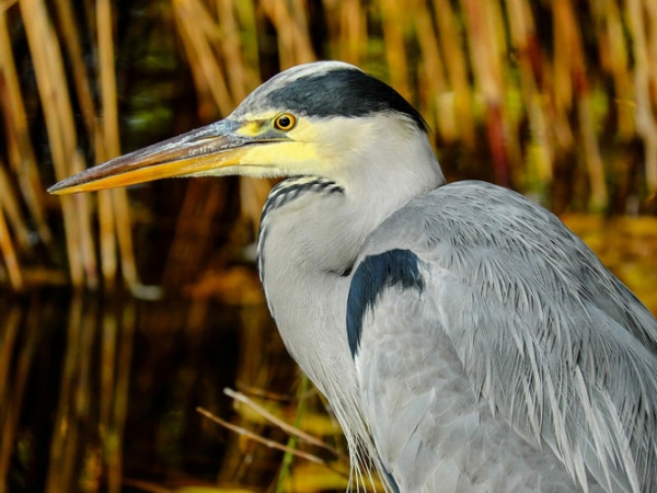 Heron-on-the-river
