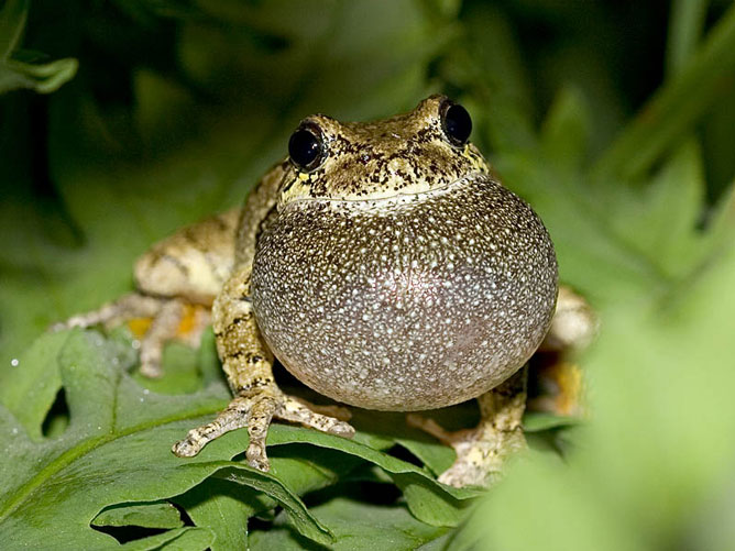 Puffed-up-Frog