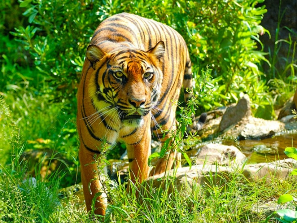 Tiger-approaching