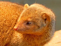 Golden Mongoose